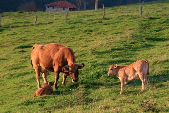 pura-carne-nuestras vacas